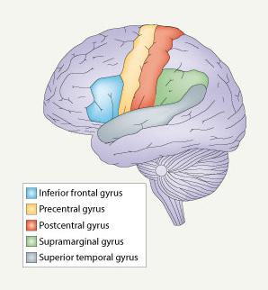 Studi-studi pencitraan otak menunjukkan, sekurangnya lima area, termasuk area Broca di girus frontalis inferior dan area Wernicke di girus temporalis superior, terlibat dalam kemampuan bicara.